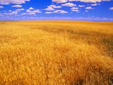 Golden Wheat Field under Blue Sky Photographic Print by Darrell Gulin
