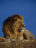 Male Lion Resting Photographic Print by Joe McDonald