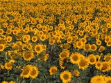 Field of Sunflowers Photographic Print by Wolfgang Kaehler