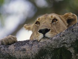 Face of African Lioness in Tree Photographic Print by Joe McDonald