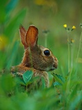 Cottontail Rabbit in the Grass Photographic Print by Joe McDonald
