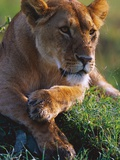 Lioness Resting Photographic Print by Joe McDonald
