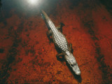 An Alligator Walks on the Muddy Bottom of the Saint Marys River Photographic Print by Melissa Farlow