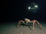 A Submersible Hovers Above a Female Giant Spider Crab Photographic Print by Emory Kristof