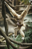A White-handed Gibbon Carrying Her Baby Through the Tree Tops Photographic Print by Michael Nichols