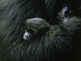 A baby mountain gorilla is cuddled by her mother Fotografisk tryk af Michael Nichols