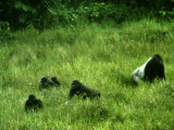 A gorilla family wander in the Mbeli Bai clearing in tall grasses Photographic Print by Michael Nichols