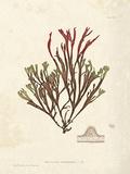 Gracilaria multipartita Giclee Print by Henry Bradbury