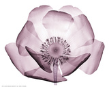 Beautiful Translucent Lavender Poppy Arte