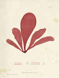 Schizymenia edulis Giclee Print by Henry Bradbury