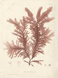 Ptilota plumosa Giclee Print by Henry Bradbury