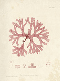 Rhodymenia palmetta Giclee Print by Henry Bradbury