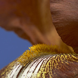 Close Up of an Iris Photographic Print by Richard Bryant