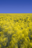 Rape Fields Photographic Print by David Clapp