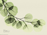 Sage Eucalyptus Leaves II Poster von Albert Koetsier