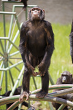Chimpanzee (Pan Troglodytes) Standing On Hind Legs Looking Out At Visitors Photographic Print by Steve Taylor