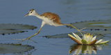 African Jacana (Actophilornis Africana) Chick Running Between Water Lily Pads Photographic Print by Lou Coetzer