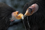 California Condors (Gymnnogyps Californicus) Interacting. Captive. Endangered Species Reproduction photographique par Claudio Contreras