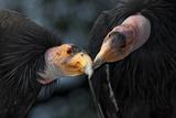 California Condors (Gymnnogyps Californicus) Interacting. Captive. Endangered Species Photographic Print by Claudio Contreras