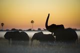 Group Of African Elephants (Loxodonta Africana) Silhouetted At Sunrise, Okavango Delta, Botswana Fotografie-Druck von Wim van den Heever