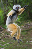 Adult Male Diademed Sifaka (Propithecus Diadema) Between Forest Fragments Photographic Print by Nick Garbutt