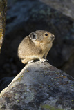 Pika (Ochotona Princeps) In Scree Rock Pile, Sheepeaters Cliff, Yellowstone National Park Photographic Print by Mary Mcdonald