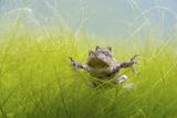 Pair Of Common Toads (Bufo Bufo) In Amplexus Underwater, Belgium, March Photographic Print by Bert Willaert