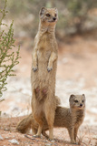 Yellow Mongoose (Cynictis Penicillata) Standing On Hind Legs With Young Fotografisk tryk af Ann & Steve Toon