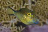 Sharpnose Puffer (Canthigaster Rostrata) Displaying Bright Colours Including A Bright Blue Flap Photographic Print by Alex Mustard