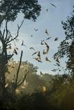 Straw-Coloured Fruit Bats (Eidolon Helvum) Photographic Print by Nick Garbutt