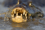 Spectacled Caiman (Caiman Crocodilus) Feeding On Fish, Pantanal, Brazil Photographic Print by Chris & Monique Fallows