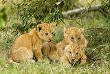 Lion (Panthera Leo) Cubs Playing, Masai Mara Game Reserve, Kenya Photographic Print by  Denis-Huot
