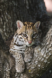 Rf- Ocelot (Felis Pardalis) Head Portrait Of Captive Female Resting Photographic Print by Rolf Nussbaumer