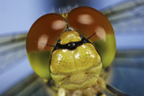 Close Up Of Eyes Of Common Darter Dragonfly (Sympetrum Striolatum) Newly Emerged Adult, Surrey, UK Photographic Print by Kim Taylor