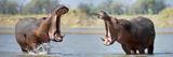 Adult Male Hippopotamuses (Hippopotamus Amphibius) Posturing In Agressive 'Yawn' Behaviour Photographic Print by Nick Garbutt