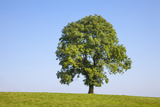 Ash Tree (Fraxinus Excelsior) Growing In A Field Photographic Print by Alex Hyde