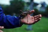 Giant Weta, Little Barrier Is, New Zealand. World'S Second Largest Insect Related To Crickets Photographic Print by Tim Edwards