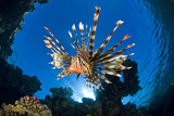 Female Lionfish (Pterois Volitans) On Coral Reef. Jackfish Alley, Ras Mohammed Marine Park, Sinai Photographic Print by Alex Mustard