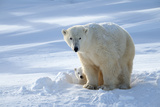 Polar Bear (Ursus Maritimus) Female Coming Out The Den With One Three Month Cub Photographic Print by Eric Baccega