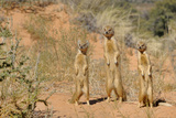 Yellow Mongooses (Cynictis Penicillata) Standing Alert, Kgalagadi National Park, South Africa Photographic Print by Dave Watts