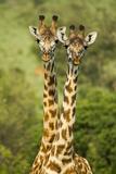 Masai Giraffe (Giraffa Camelopardalis Tippelskirchi) Masai Mara Game Reserve, Kenya Photographic Print by  Denis-Huot