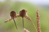 Harvest Mice (Micromys Minutus), Captive, UK, June Fotografisk tryk af Ann & Steve Toon
