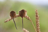 Harvest Mice (Micromys Minutus), Captive, UK, June Photographic Print by Ann & Steve Toon