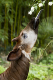 Okapi (Okapia Johnstoni) Feeding, With Tongue Exteneded Photographic Print by  Denis-Huot