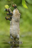 Water Vole (Arvicola Amphibius) Standing On Hind Legs Sniffing Blackberry, Kent, UK, September Photographic Print by Terry Whittaker