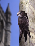 Digital Composite Common - European Swift (Apus Apus) Adult Clinging To A Building, UK Photographic Print by Kim Taylor