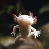 Axolotl (Siredon - Ambystoma Mexicanum) Albino, Captive Photographic Print by Jane Burton