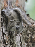 Siberian Flying Squirrel (Pteromys Volans) Juvenile, Central Finland, June Photographic Print by Jussi Murtosaari