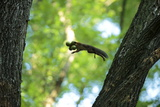 Japanese Squirrel (Sciurus Lis) Jumping From Tree To Tree With Four Walnut (Juglans Ailantifolia) Photographic Print by Yukihiro Fukuda