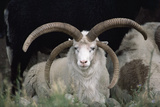 Rare Breed Domestic Churro Sheep, New Mexico Photographic Print by John Cancalosi